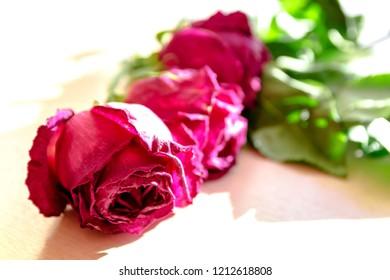 Sluggish red rose