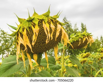 Sluggish sunflowers