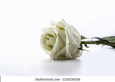 Sluggish white rose isolated on white background.