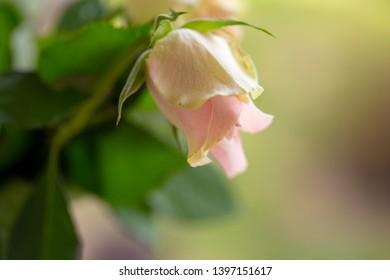 sluggish white roses, a symbol of fading beauty