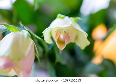 sluggish white roses, a symbol of fading beauty.Roses in blur to give texture and background
