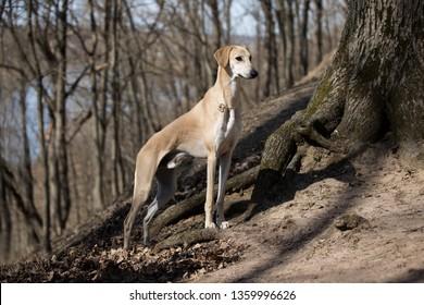 Slugs, Arabian Greyhound, Arabic Greyhound