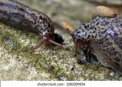 slugs life, a chance meeting of two slugs, wildlife