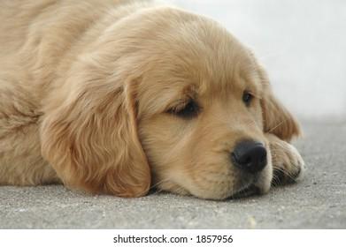 A slumbering golden retriever puppy.
