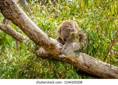Slumped koala sleeping on a branch in Australia