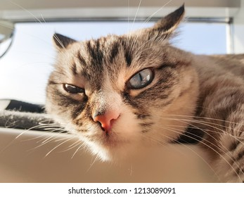 Sly cat eye. Seal tabby point cat with blue eyes