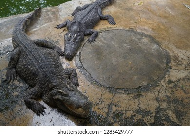The sly crocodiles