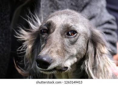 Sly dog looking at the camera. Pedigree greyhound. Solar backlight. Shallow depth of field.