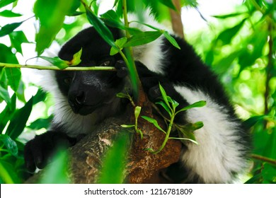 Sly lemur looks out of the leaves