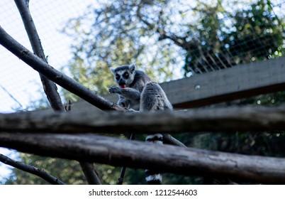 Sly lemur on tree