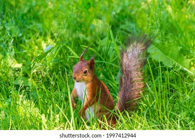 Sly looking squirrel on the lawn in the green grass