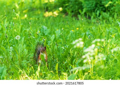 Sly looking squirrel on the lawn