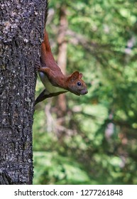 sly red squirrel in a tree