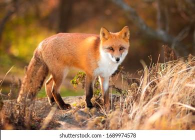 Sly red Ussuri Fox common