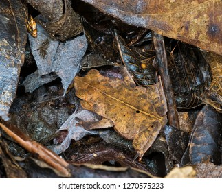 Small (about one-inch long) leaf-mimic toad (species undetermined) hiding among leaf litter on forest floor in upland rainforest near Archidona, Ecuador.
