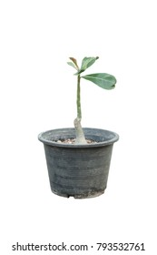 Small Adenium tree in the pot on white background.