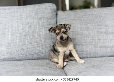 Small Adorable Terrier Mix Puppy on Couch