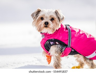Small and adorable terrier type dog wears a puffy pink snow jacket and booties in the snow