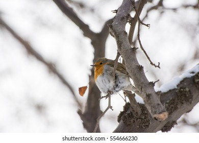 Small adult European robin resting on a twig