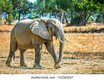 Small African calf elephant exploring in Zambia Africa