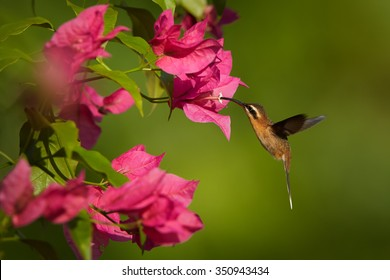 Small, agile, brown hummingbird, Little Hermit, Phaethornis longuemareus hovering over and feeding from pink Bougainvillea flower. Distant blurry green background. Trinidad & Tobago