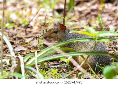 Small Agouti hiding behind grass leaves on the ground of a forest, Pantanal Wetlands, Mato Grosso, Brazil