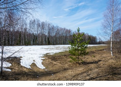 A small agricultural field with remnants of snow against the background of a birch forest and green pine in the foreground.