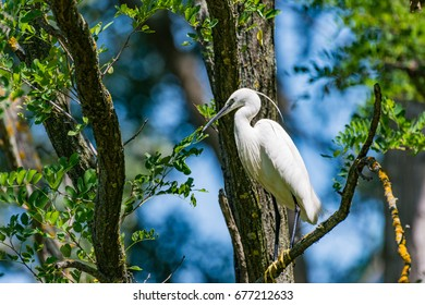 Small aigrette sitting on a branch in the middle of the day