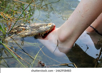 A Small Alligator Attacking A Foot In Shallow Water. The Dangers Of Swamp Waters Concept.
