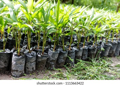 Small Amazonian palm trees growing at a plant nursery in the Amazon Rainforest.