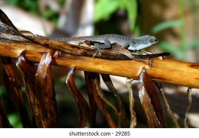 Small Anole in the garden.