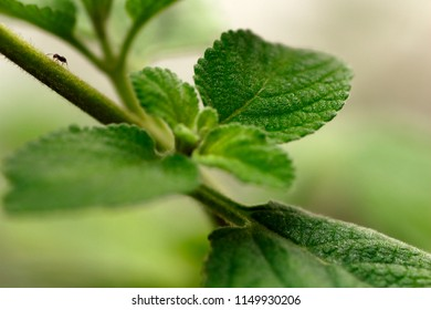 A small ant crawls along the stem of a herbal plant with a warm tone.