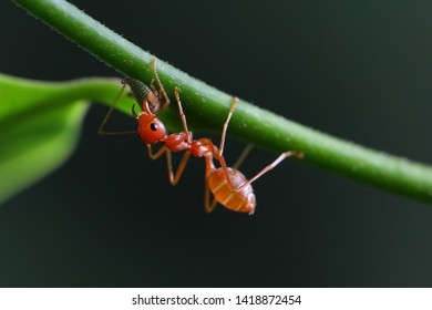 Small ant (Oecophylla smaragdina) climbing on branches.