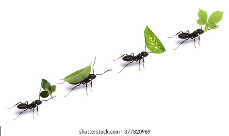 Small ants carrying green leaves, isolated on white.