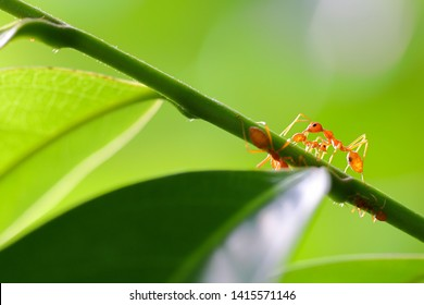 Small ants (Oecophylla smaragdina) climbing on branches.