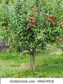 Small apple tree in a garden, with red ripe fruits