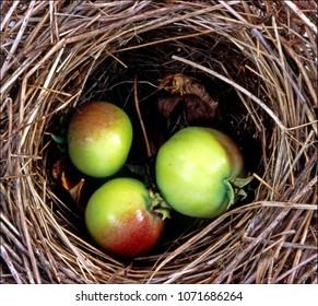 small apples in bird's nest