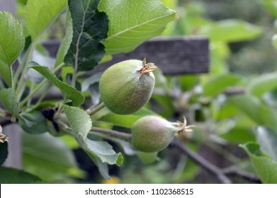 small apples fruit of apple tree (Malus domestica, Red Boskoop)