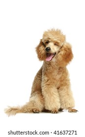 Small apricot poodle puppy, isolated on white background