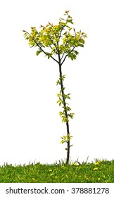 small apricot tree on the white background