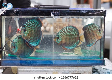 Discus Breeding Hd Stock Images Shutterstock