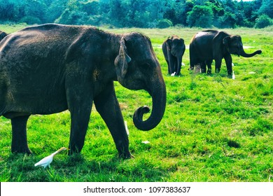 Small asian elephant standing and looking on camera in national park in Sri lanka.