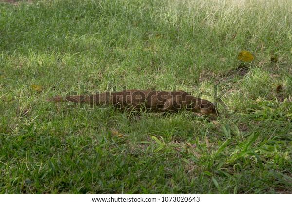 Small Asian Mongoose Diamond Head Crater Stock Photo (Edit