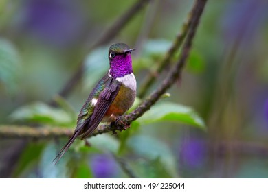 Small, attractive colibri, Purple-throated Woodstar, Calliphlox mitchellii, hummingbird perched on lavender stem against blurred green and violet background. Showing off its purple throat. Colombia.