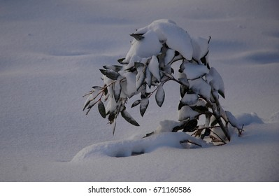 A small Australian gum tree covered with snow. It is bending under the weight of the snow. The snow around it is untouched.