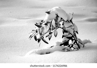 A small Australian gum tree has almost collapsed under the weight of the snow covering it. The snow around it is untouched. The photo is in black and white.