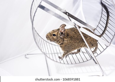 Small Australian home pet Degu. Isolated on white background.