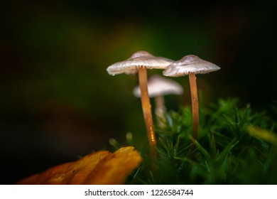 Small autumn mushrooms in the moss in beautiful autumn light in a fairytale macro scene.