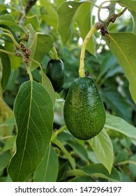 small avocado growing on tree in orchard, mexicola avocado on tree, smooth avocado, green fruit