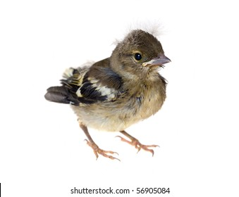 Small baby bird of a chaffinch, isolated